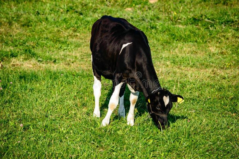 La vache noire mange l'herbe images libres de droits