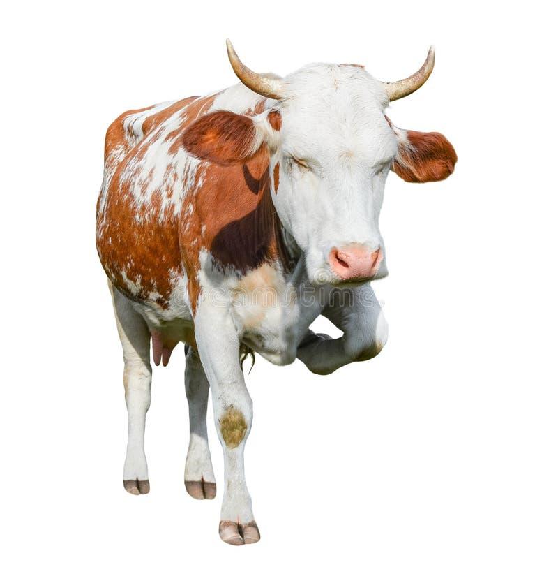 La vache rouge et blanche repérée très drôle se tient sur trois jambes et froncements de sourcils Vache d'isolement sur le fond b photographie stock libre de droits