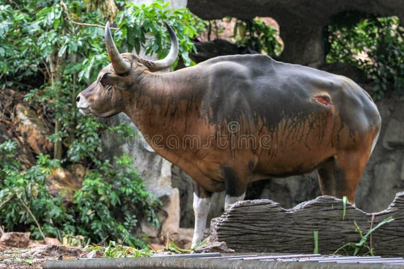 La vache rouge ont la lésion sur la peau image stock
