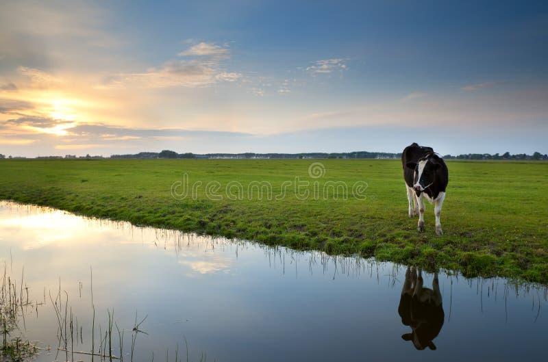 La vache sur le pâturage au coucher du soleil s'est reflétée en rivière photo libre de droits