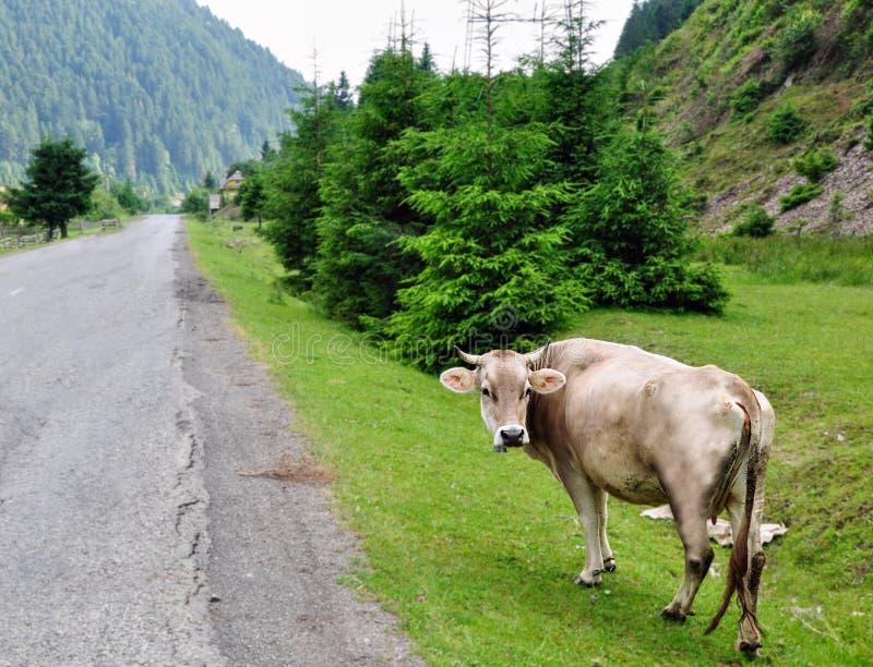 La vache sur le pré dans les montagnes photos libres de droits