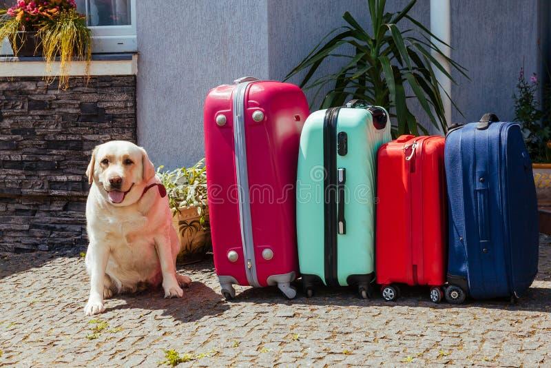 La valigia di Labrador ha isolato l'aspettativa pronta dell'animale domestico del cane dell'estate di festa del blu rosa multicol immagini stock libere da diritti
