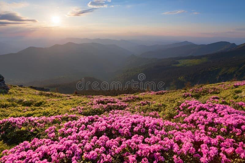 La vallée verte haute sur les montagnes dans le jour d'été est ornée de paillettes avec beaucoup de rhododendrons roses bons Le c photo stock