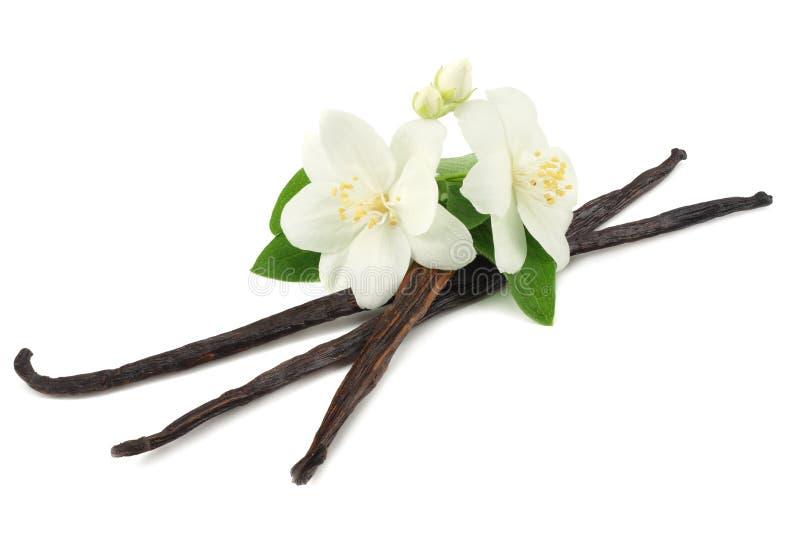La vaniglia attacca con il fiore bianco isolato su fondo bianco immagini stock libere da diritti
