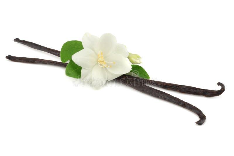 La vaniglia attacca con il fiore bianco isolato su fondo bianco immagine stock libera da diritti