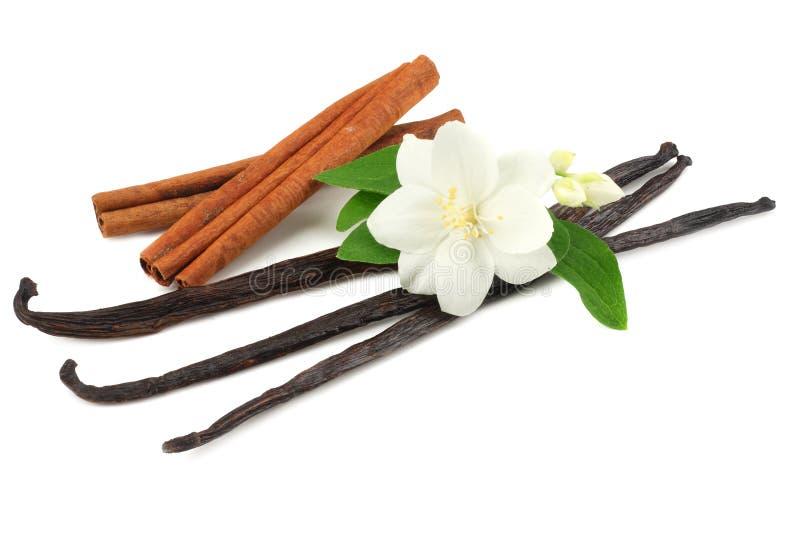 La vaniglia attacca con il fiore bianco isolato su fondo bianco fotografia stock libera da diritti