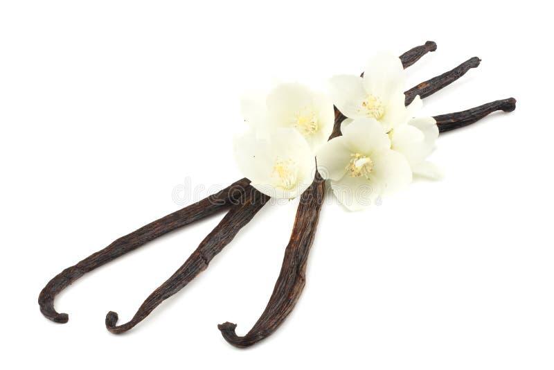 La vaniglia attacca con il fiore bianco isolato su fondo bianco fotografie stock