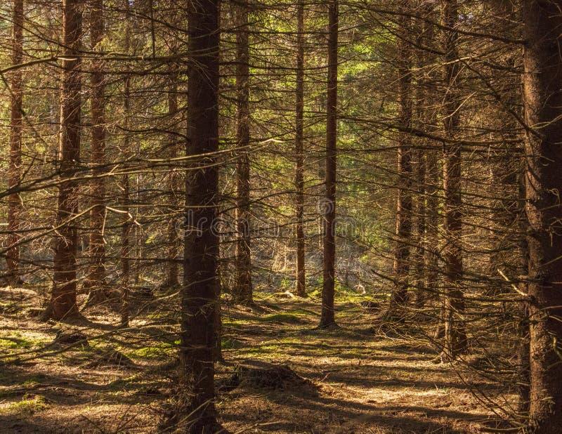 La vecchia foresta gode di del sole fotografie stock