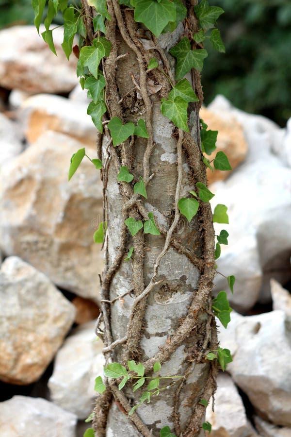 La vecchia pianta del cingolo ha avvolto il tronco di albero alto che cresce nel giardino locale con la parete di pietra tradizio fotografia stock libera da diritti