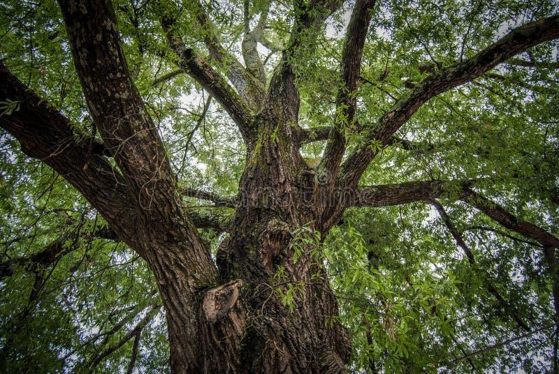 La vecchia quercia di offerta fotografie stock libere da diritti