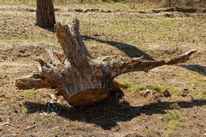 La vecchia radice sradicata marrone asciutta dell'albero si trova su erba e su terra fotografia stock
