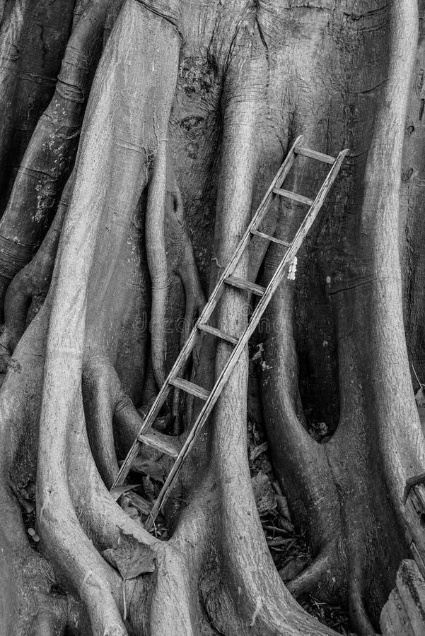 La vecchia scala di legno con il banyan pianta il fondo, scala a cielo fotografia stock libera da diritti