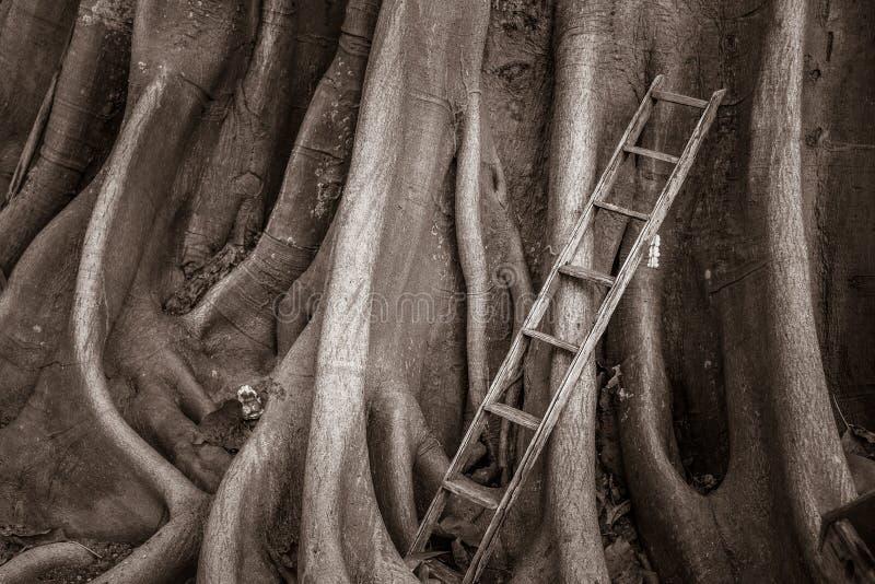 La vecchia scala di legno con il banyan pianta il fondo, scala a cielo immagini stock