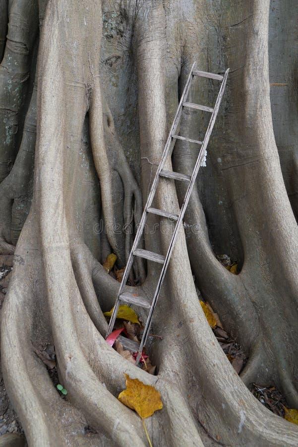 La vecchia scala di legno con il banyan pianta il fondo, scala a cielo fotografia stock