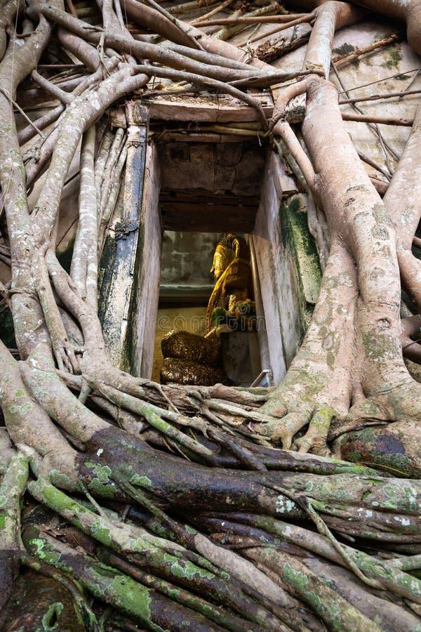 La vecchia statua dorata di Buddha in chiesa, tempio antico di Wat Bang Kung, fuori ? coperta di grandi radici dell'albero, l'alb immagine stock