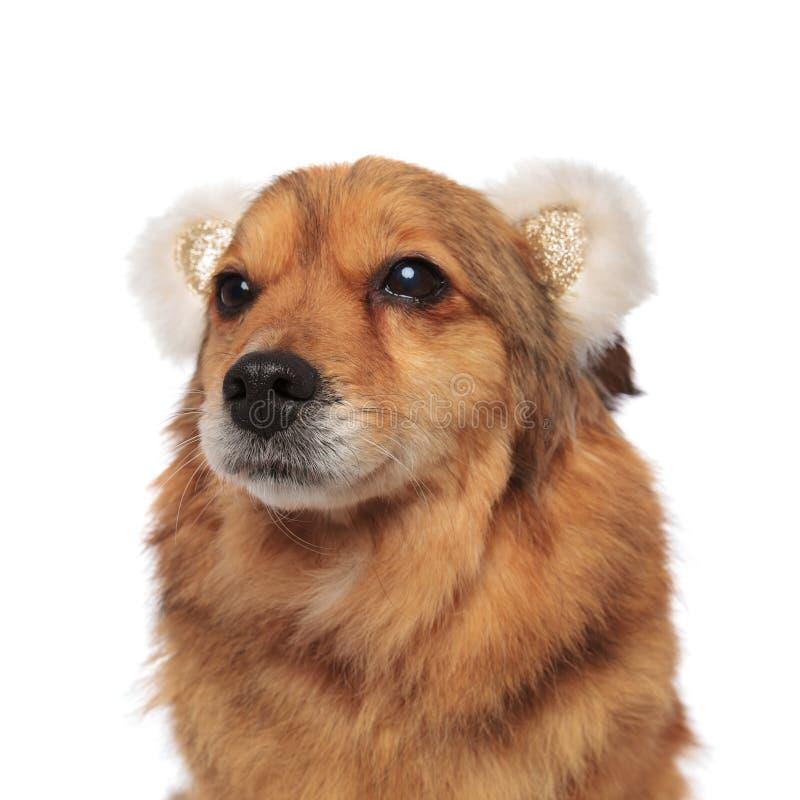 La venda de los oídos del oso del perrito de Brown que lleva mira para arriba para echar a un lado imagenes de archivo