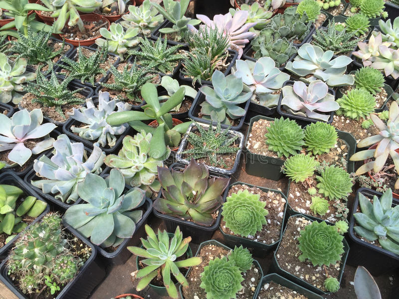 La vente volumineuse et formelle de succulents photos stock
