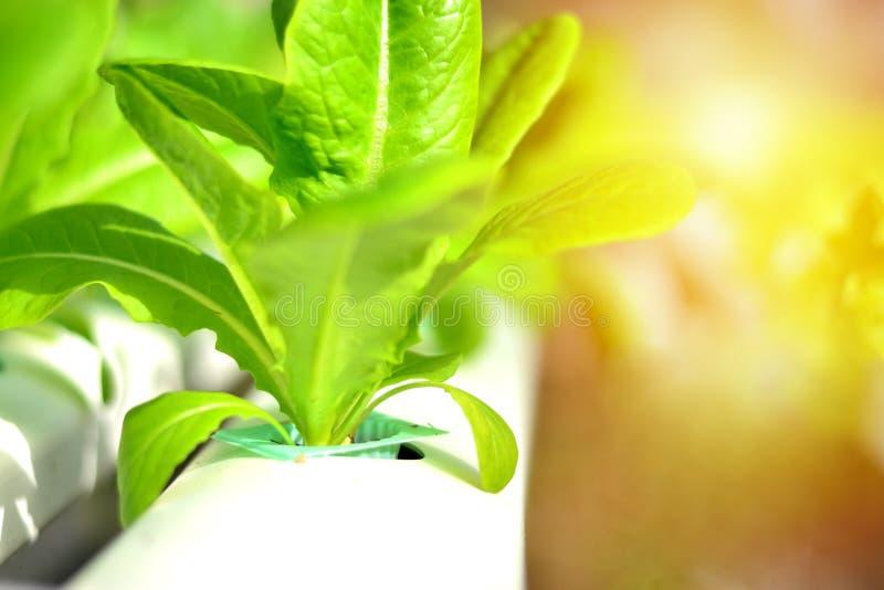 La verdura hidropónica es una nueva opción para los consumidores fotos de archivo