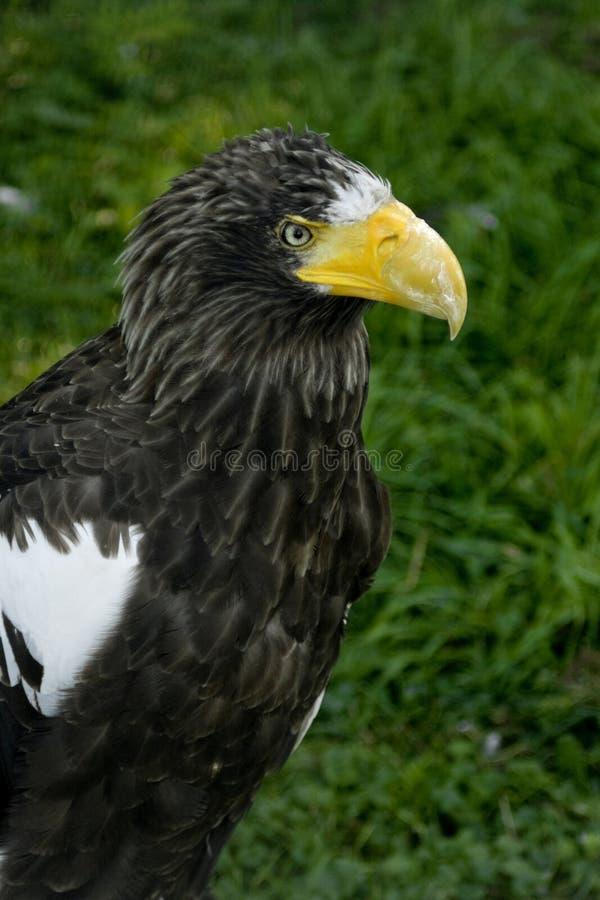 La verticale d'Eagle de mer de Steller photographie stock libre de droits