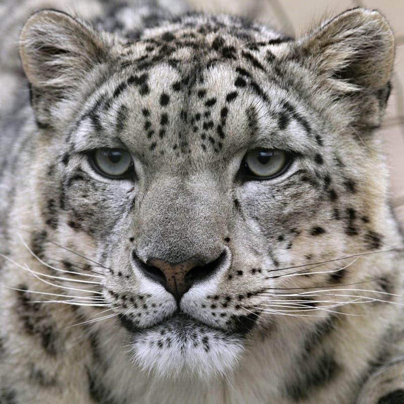 La verticale de léopard de neige images libres de droits