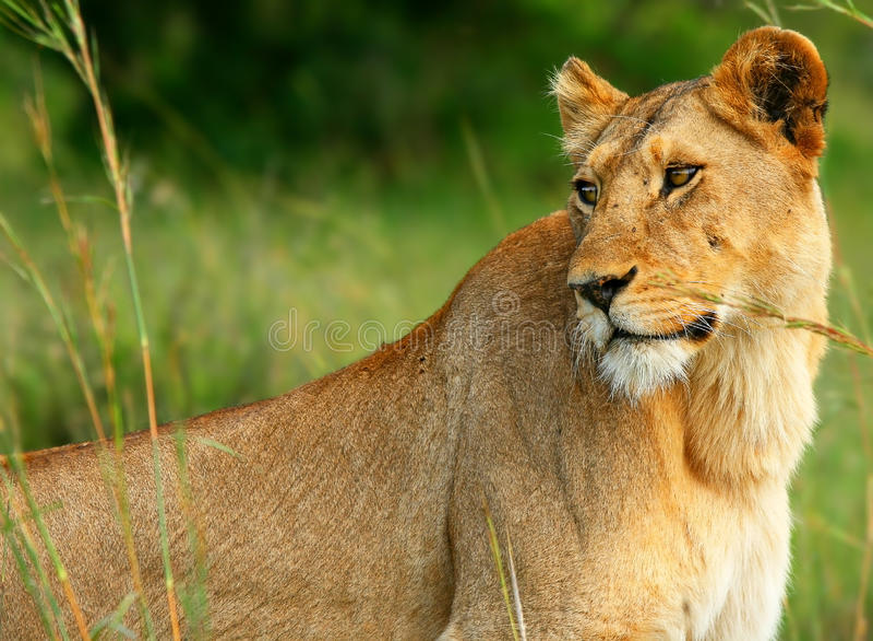 La verticale de la lionne image stock