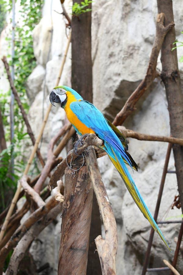 La verticale du Macaw de bleu et d'or photos stock