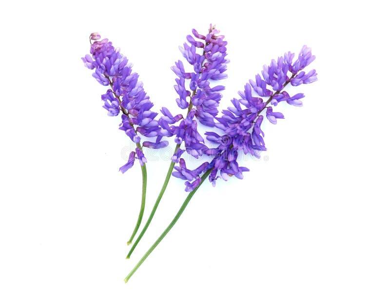 La vesce tuftée fleurit (vicia Cracca) images stock