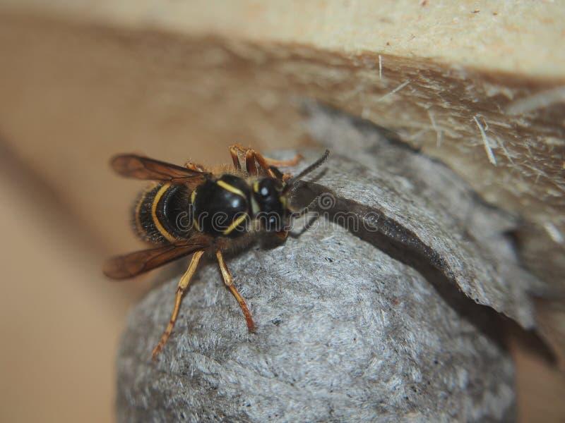 La vespa costruisce un insetto pericoloso del nido sferico immagine stock libera da diritti