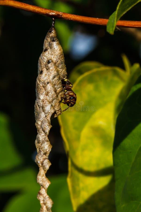La vespa costruisce un nido immagini stock libere da diritti