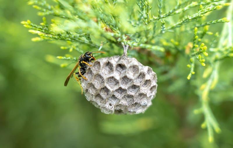 La vespa costruisce un nido dei favi sul thuja, su un fondo verde vago immagine stock libera da diritti