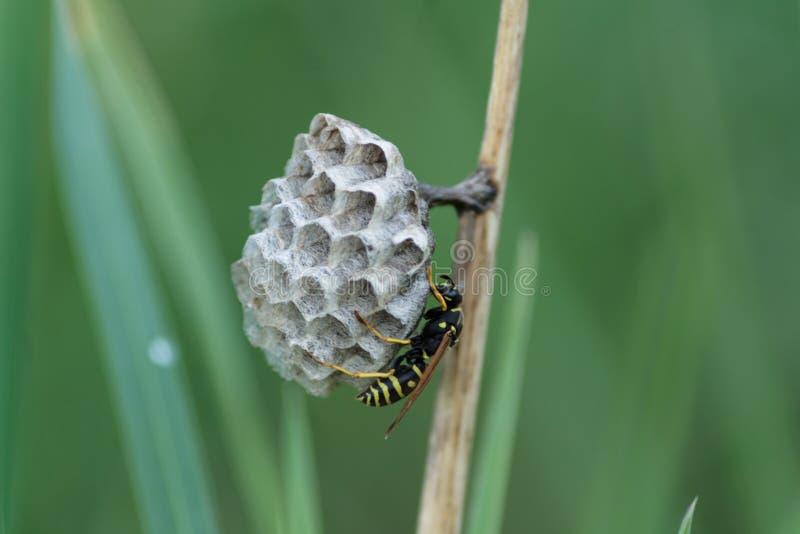 La vespa costruisce una casa nell'erba immagine stock libera da diritti