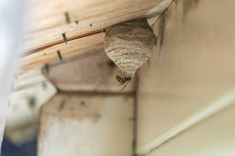 la vespa Nero-gialla costruisce un nido della vespa nell'ambito di una sporgenza di legno del tetto fotografie stock