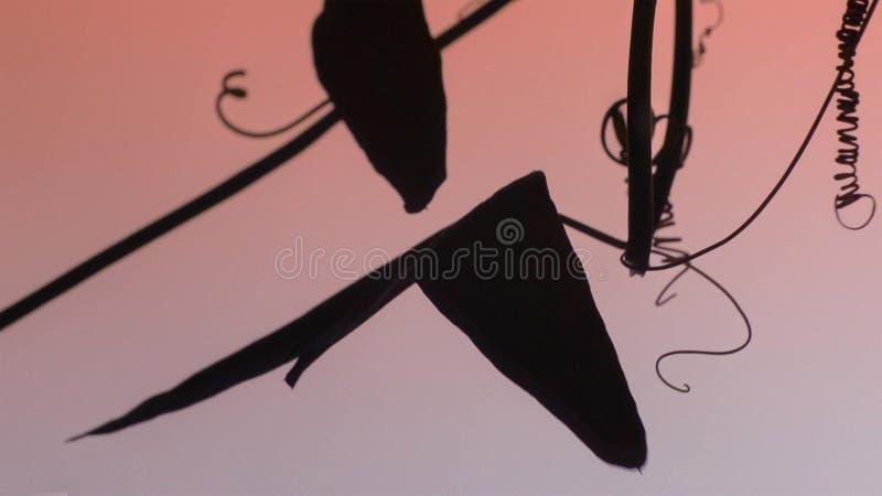 La vid de la pasión ha desarrollado la defensa de orugas para comer sus hojas Éste tiene hojas que den la impresión de ser fotografía de archivo libre de regalías