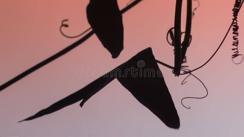 La vid de la pasión ha desarrollado la defensa de orugas para comer sus hojas Éste tiene hojas que den la impresión de ser fotos de archivo libres de regalías