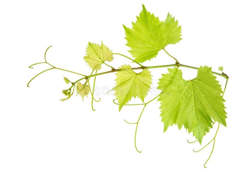 La vid deja la rama aislada en blanco Hoja verde de la uva imagen de archivo