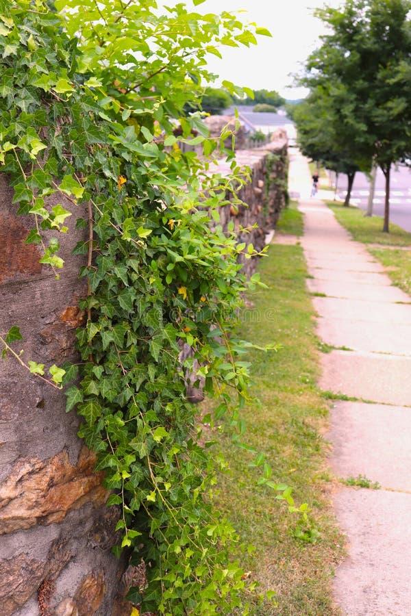 La vid frondosa conecta en cascada abajo la pared de piedra en la acera del pueblo fotos de archivo libres de regalías