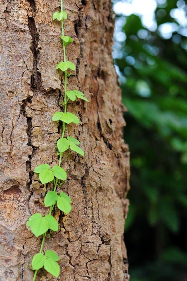 La vid se arrastra a lo largo de árbol fotografía de archivo libre de regalías