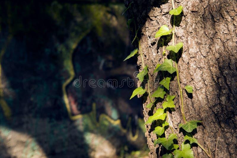 La vid se arrastra a lo largo de árbol en nuevo crecimiento imágenes de archivo libres de regalías