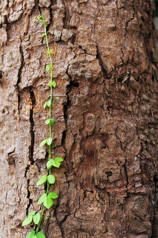 La vid se arrastra a lo largo de crecimiento del árbol foto de archivo libre de regalías