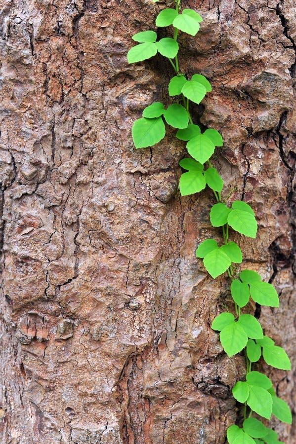 La vid se arrastra a lo largo de crecimiento del árbol imágenes de archivo libres de regalías
