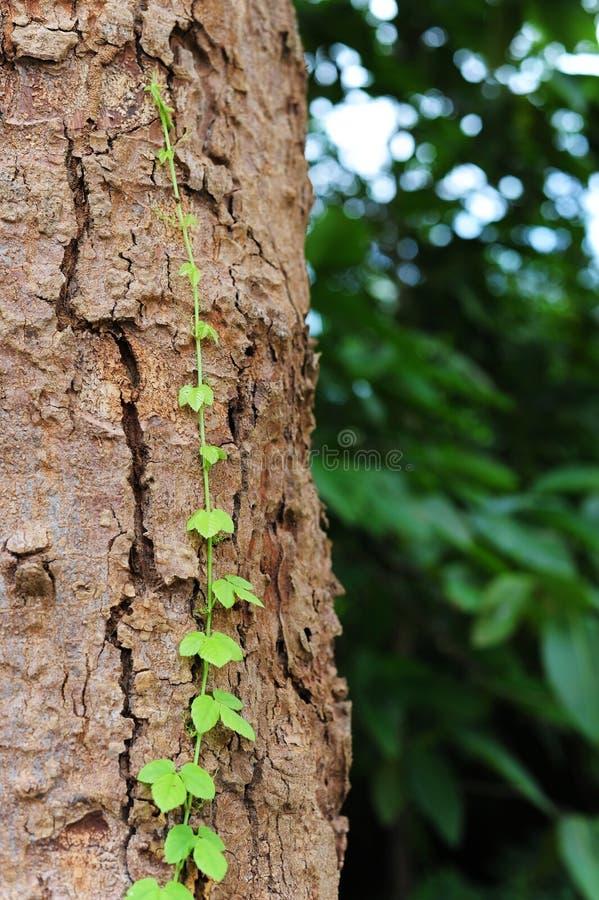 La vid se arrastra a lo largo de crecimiento del árbol imagenes de archivo