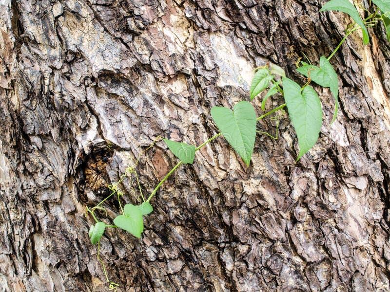 La vid se arrastra y la piel del árbol foto de archivo