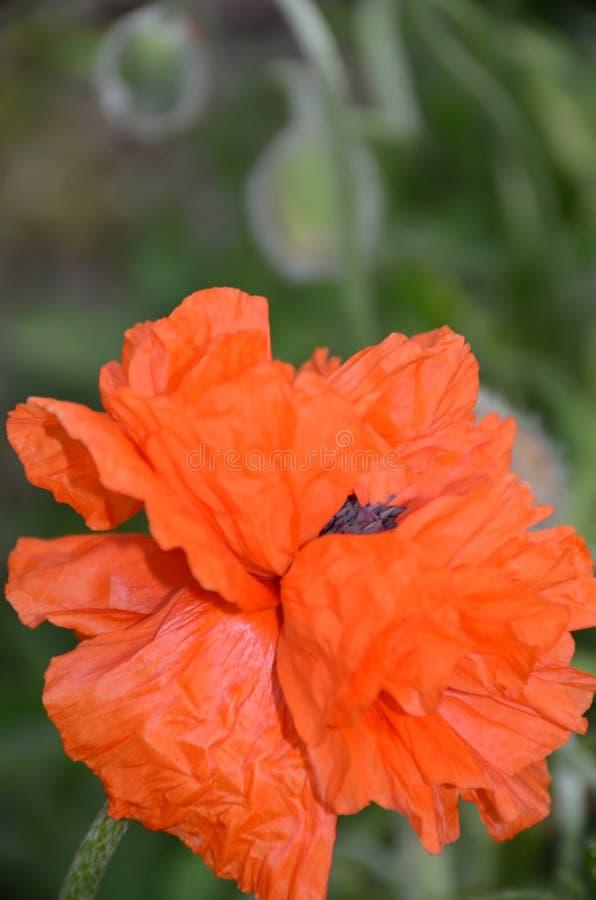La vida de un papel de la flor- de la amapola enrarece los pétalos imágenes de archivo libres de regalías