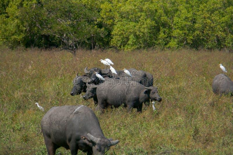 La vie d'oiseau du héron blanc de parc national de Kakadu se reposant sur des vaches, les eaux jaunes, billabong, parc national d photographie stock