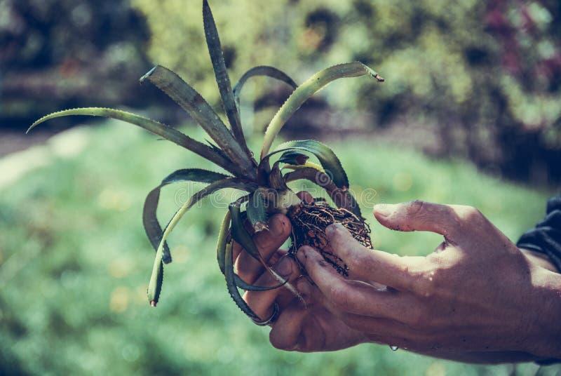 Mains Plantant Le Petit Arbre Avec Des Racines Dans Un ...