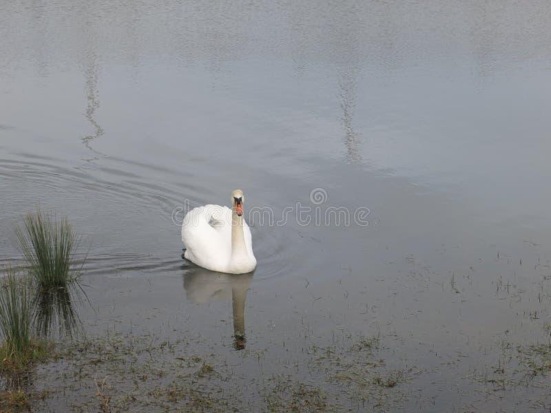 La vie de canard photos libres de droits