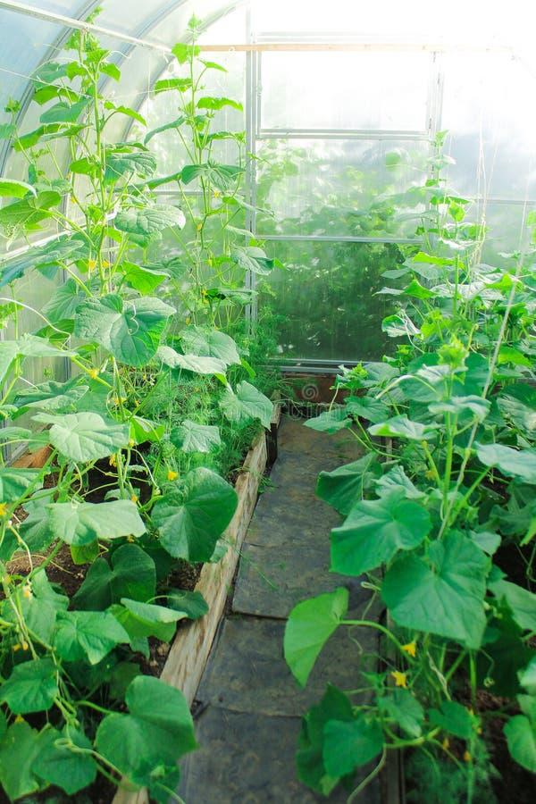 La vie de ferme, légumes grandissants en serre chaude comment cultiver des concombres jeunes plantes, plantant photographie stock