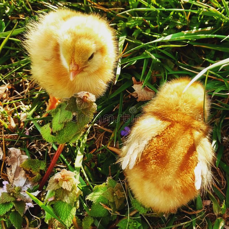 La vie de poulet images stock