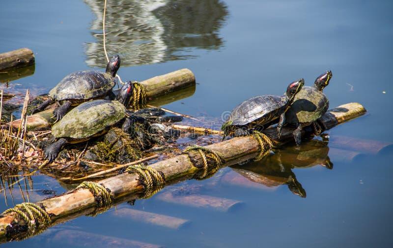 Download La vie de tortues image stock. Image du jardin, shell - 56475713