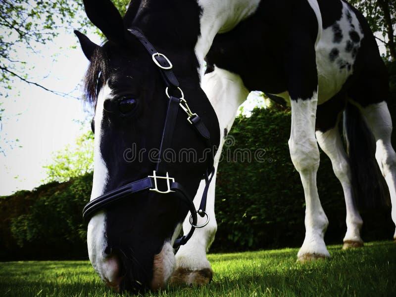 La vie heureuse de cheval en caverne du sud BRITANNIQUE images stock